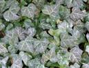 Baltic English Ivy