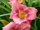 Daylily Rosy Returns