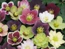 Helleborus Winter Thrillers Mix