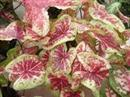 Rasberry Moon Caladium