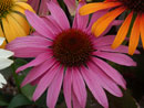 Dechinacea Hope